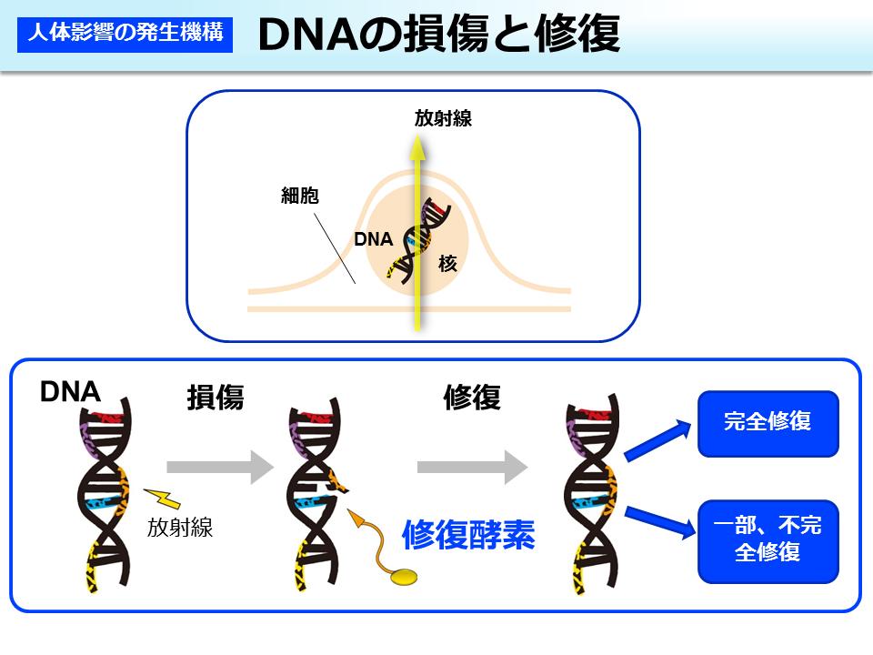 環境省_DNA の損傷と修復