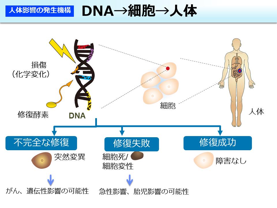 環境省_DNA→細胞→人体