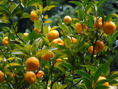 環境省_鈴成の橘(たちばな)
