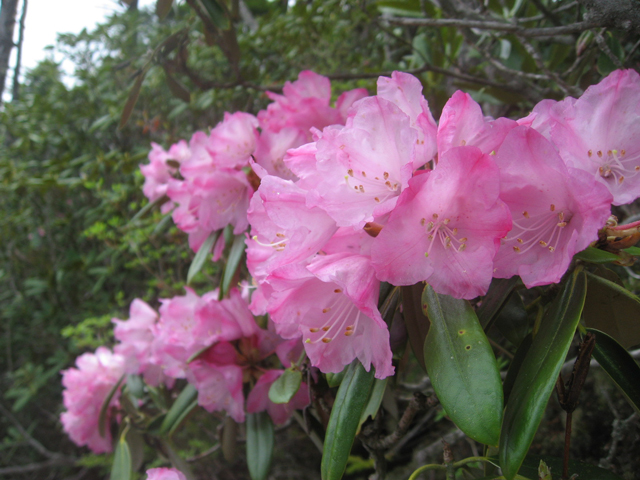 photo of Rhododendron degronianum