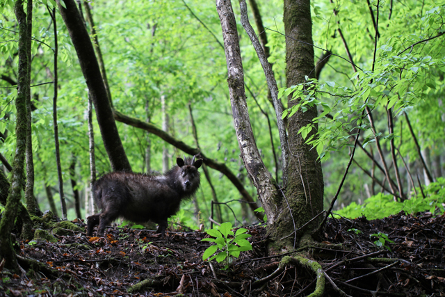 photo of Japanese Serow (Capricornis crispus)