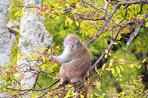 photo of Japanese Macaque