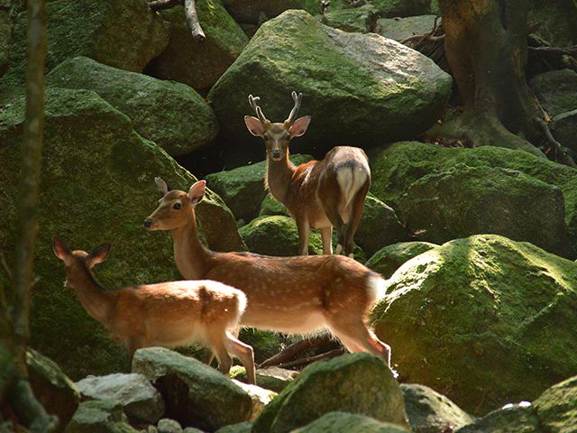 photo of Yakushima Deer
