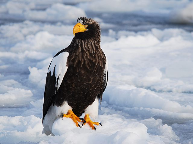 photo of Steller's Sea Eagle Resting on Drift Ice