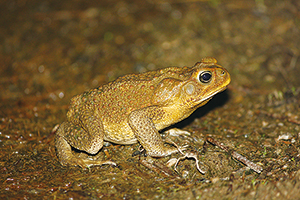 photo of Cane Toad