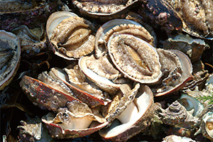 photo of Abalone