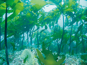photo of Seagrass Beds (Arame Beds)