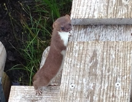 photo of Japanese Stoat (Mustela ermine a nippon), Joetsu Myoko Trekking and Hiking