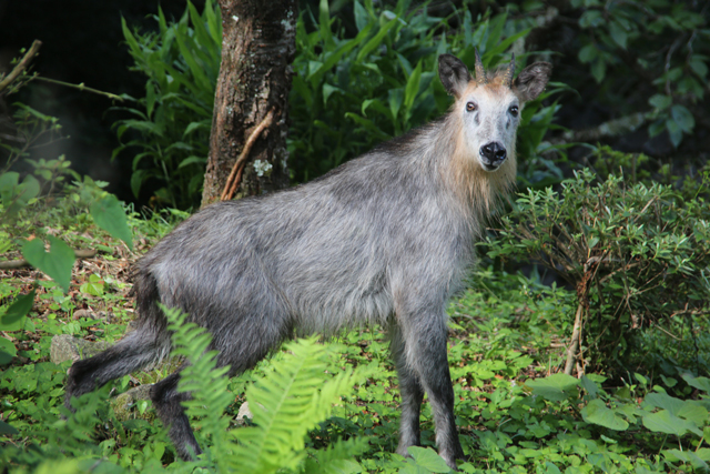photo of Japanese Serow(Capricornis crispus)