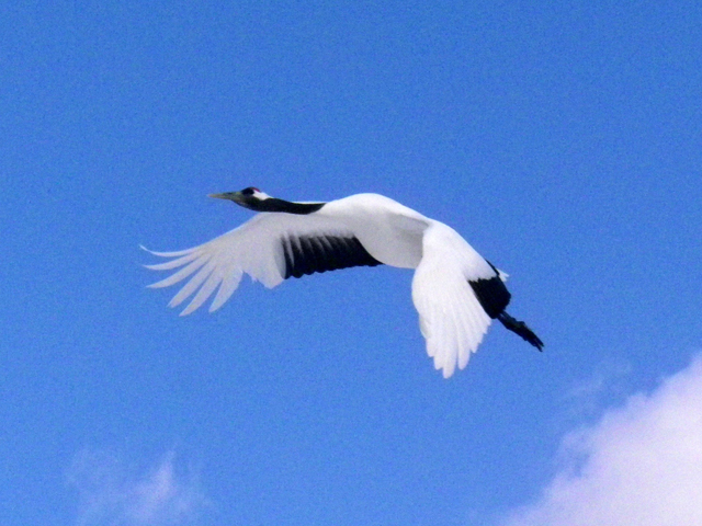 photo of Red-crowned Crane