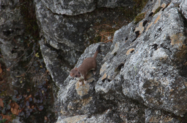 photo of Japanese Stoat