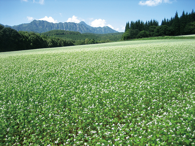 photo of The Fields of Soba (Buckwheat) Flowers and the Togakushi Mountain Range