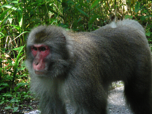 photo of Japanese Macaque (Macaca fuscata)