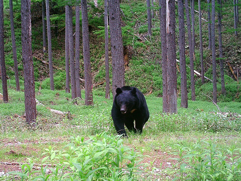 photo of Asiatic Black Bear(Ursus thibetanus japonicus)