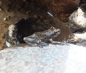 photo of Buerger's Frog Living by the Stream