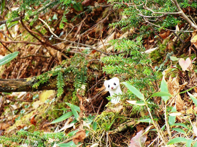 photo of Japanese Stoat (Mustela ermine nippon)