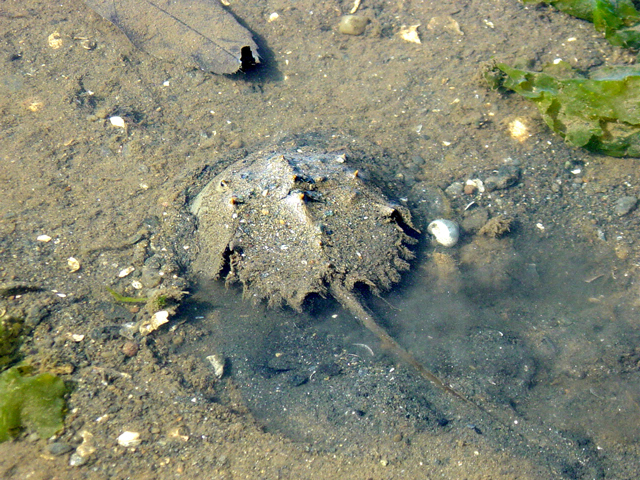 photo of Japanese Horseshoe Crab (Tachypleus tridentatus)