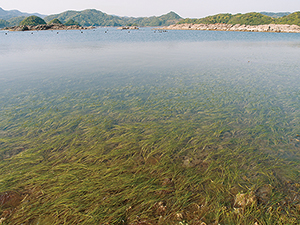 photo of Seagrass bed on the Mina Shima Island
