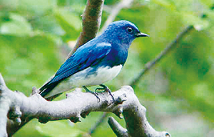 photo of Blue-and-white Flycatcher