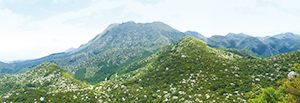 photo of Colonies of Japanese flowering dogwood on the north face of Mt. Unzen