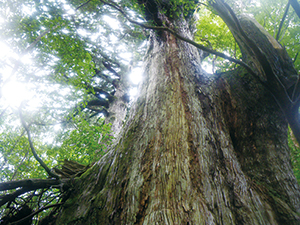 Towering Yakusugi in the Forest