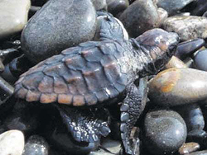 photo of A Freshly Hatched Loggerhead Turtle