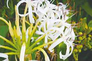 photo of Crinum asiaticum L. var. japonicum