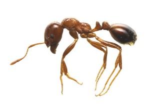 (ヒアリの写真)全体は赤茶色で腹部が黒っぽい赤色